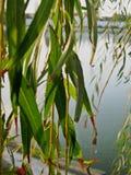 Lämnar närbild på sidan av sjön Royaltyfri Fotografi