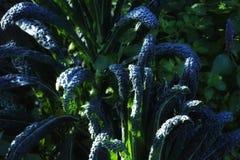 lämnar naturen för grön färg för kålgrönkålträdgården bysolljusmat sund friskhet fotografering för bildbyråer