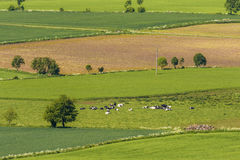 Ländliche Ansicht mit Kühen auf einer Wiese Lizenzfreies Stockbild