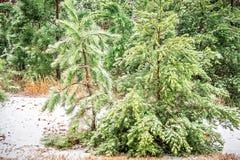 Ländliche Evergreens bedeckt im hellen Schnee Lizenzfreie Stockbilder