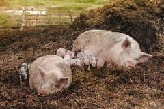 ländliche Familienidylle mit Schweinen lizenzfreie stockfotos