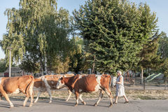 Ländliche Frau, die ihre Herde von Kühen auf einer Straße von Dubovac, ein kleines landwirtschaftliches Dorf von Mittel-Serbien l Stockbilder
