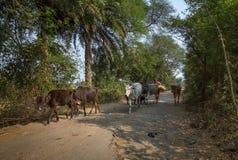 Ländliche Frau kommt mit ihrem Vieh zurück, nachdem sie zu ihrem Dorf weiden lassen hat Lizenzfreie Stockfotografie