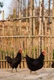 Ländliche Hennenbilder Stockbilder