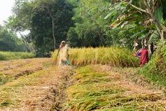Ländliche indische Frauen ernten den Reis, der in Pingla-Dorf, Indien paddiy ist Lizenzfreie Stockfotos