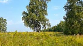 Ländliche Landschaft des Sommers mit Birke stock video