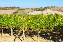 Ländliche Landschaft des Sommers mit Weinbergen in Toskana Lizenzfreies Stockfoto