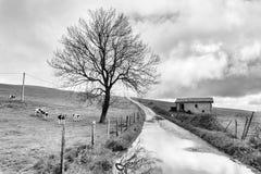 Ländliche Landschaft mit Kühen in der Landschaft Lizenzfreie Stockfotografie