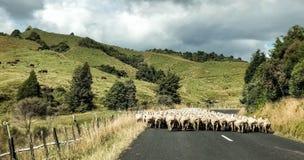 Ländliche Landschaft Neuseelands mit den Schafen, welche die Straße kreuzen lizenzfreies stockfoto