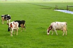 Ländliche niederländische Polderlandschaft mit Kühen und Wiesen Stockbild