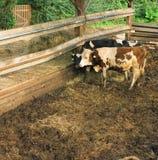 Ländliche Szene mit zwei Kühen Lizenzfreies Stockfoto