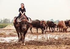 Ländliche traditionelle Szene Thailands, thailändisches Landwirtschäfermädchen reitet einen Büffel und neigt Büffel, in Herden le lizenzfreie stockfotos