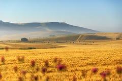 Ländlicher Landschaftsfrühling Zwischen Apulien und Basilikata: Weizenfeld an der Dämmerung Italien Stockfotos