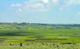 Ländliches äthiopisches Szenen-, Frauen- und Viehbestandfreien lizenzfreies stockbild