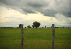 Ländliches Bauernhoffeld und einziger Baum in Siem Reap Kambodscha lizenzfreies stockfoto