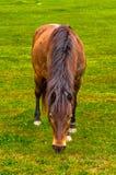 Ländliches Pferd Browns, das Gras auf der Wiese isst Lizenzfreie Stockfotos