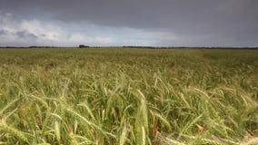 Längd i fot räknat av det guld- vetefältet lager videofilmer
