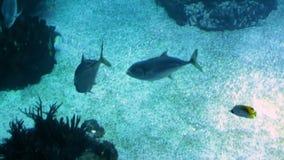 Längd i fot räknat av fiskar som simmar i stort offentligt akvarium stock video
