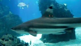 Längd i fot räknat av hajar som simmar i stort akvarium på zoo arkivfilmer