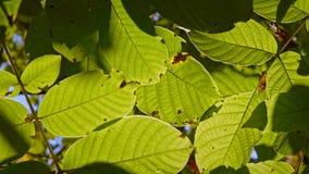 Längd i fot räknat av några höstliga sidor på ett träd som blåsas av vinden arkivfilmer