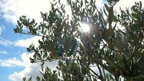 Längd i fot räknat av olivträdet och den olivgröna filialen i ultrarapid lager videofilmer