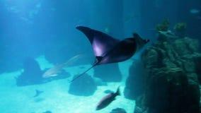 Längd i fot räknat av stingrockasimning i stort akvarium Undervattens- fors arkivfilmer