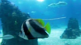 Längd i fot räknat av stingrockor, hajar och fiskar som simmar i stort akvarium på zoo stock video