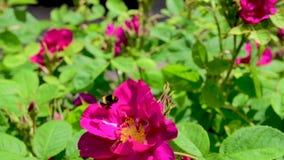längd i fot räknat för ultrarapid 120fps av Bumble biet som samlar pollen från rosa ros stock video