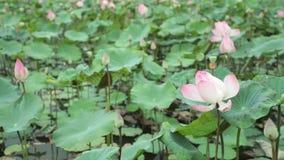 Längd i fot räknat för vattenLily Pond Pink High Definition materiel arkivfilmer