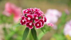 Längd i fot räknat för vita blommor HD för Verbena hybrid- röd rosa lager videofilmer