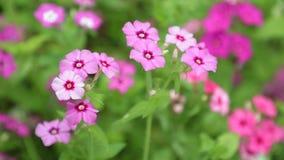 Längd i fot räknat för vita blommor HD för Verbena röd rosa arkivfilmer