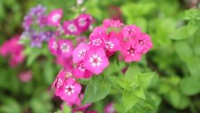 Längd i fot räknat för vita blommor HD för Verbena röd rosa stock video