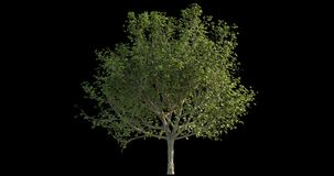 längd i fot räknat 4k av det blåsiga trädet för arkitektonisk visualization med utklippmaskeringen arkivfilmer