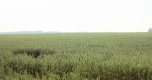 Längd i fot räknatfält av havre sikt av havrefältet, Serbien arkivfilmer