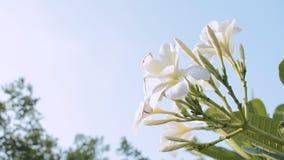 Längd i fot räknatFrangipaniblomma i blå himmel för trädgårds- wiith stock video