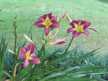 Länge stemmed mångfärgade liljor ljusnar landskapet royaltyfria bilder