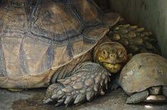 Längliche Schildkröte stockfoto