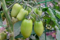 Längliches grünes Tomaten-Bündel, das am Zweig im Treibhaus, Closeu hängt Lizenzfreies Stockbild