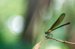 Längta efter soldamselflyen fotografering för bildbyråer