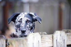 Längtan bak det staket- eller för gårdhund buselivet Arkivbilder