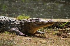 Läppja krokodilsoltapeten arkivbild