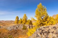 Lärche auf Steinen altai sibirien Stockbild