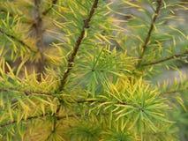 Lärche im Herbst stockfotos