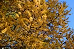 Lärche im Herbst stockfoto