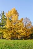 Lärche im Herbstpark Lizenzfreies Stockbild