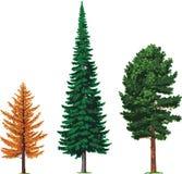 Lärche-, Tannen- und Zederbäume. Vektor Stockfoto