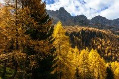 Lärchen im Herbst (Nord-Italien) Stockbilder