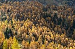Lärchen im Herbst (Nord-Italien) Stockbild