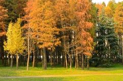 Lärchen und Ginkgo-Bäume, die Segeltuch bestehen Stockfotografie