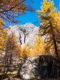 Lärchenbäume und die Spitzen von Mont Blanc im Fall Stockfotos